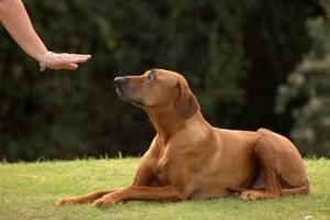 Der Junghund - Fair sein –  für eine gute Beziehung Im  7. Lebensmonat kommt der Hund in die so genannte Pubertätsphase und das Leben mit dem Hund verändert sich.